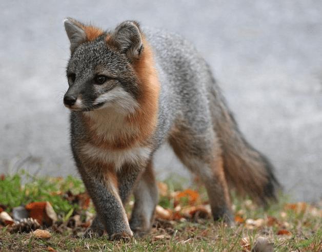 Gray Fox (c) MasterImages