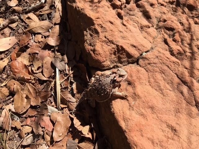 A horned lizard basks in autumn sun below the Mogollon Rim and above Tonto Creek (c) John Davis