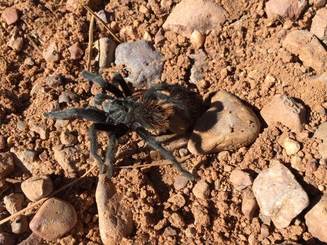 A tarantula crosses the Rim Road, urged on by a concerned bicyclist. Males trantulas are often moving in autumn, looking for females. (c) John Davis