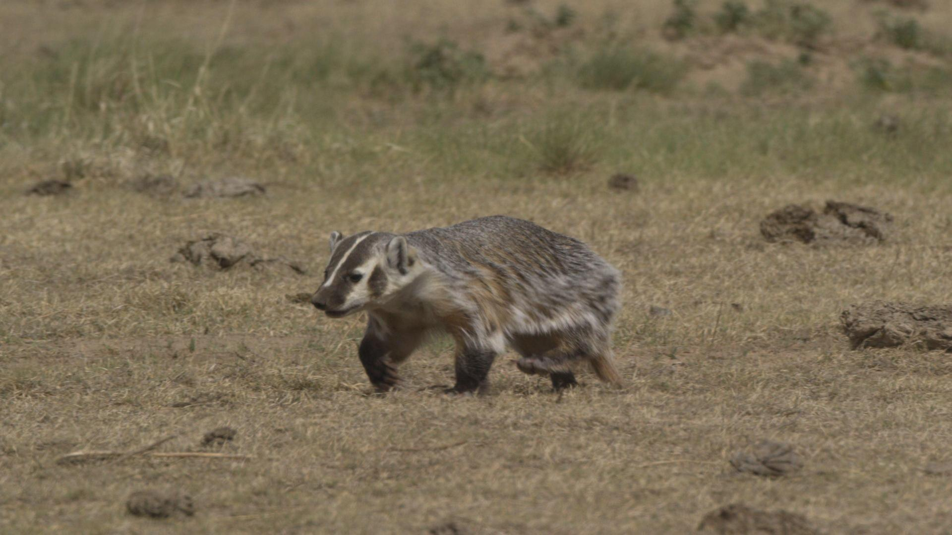 Badger on SPLT Preserve
