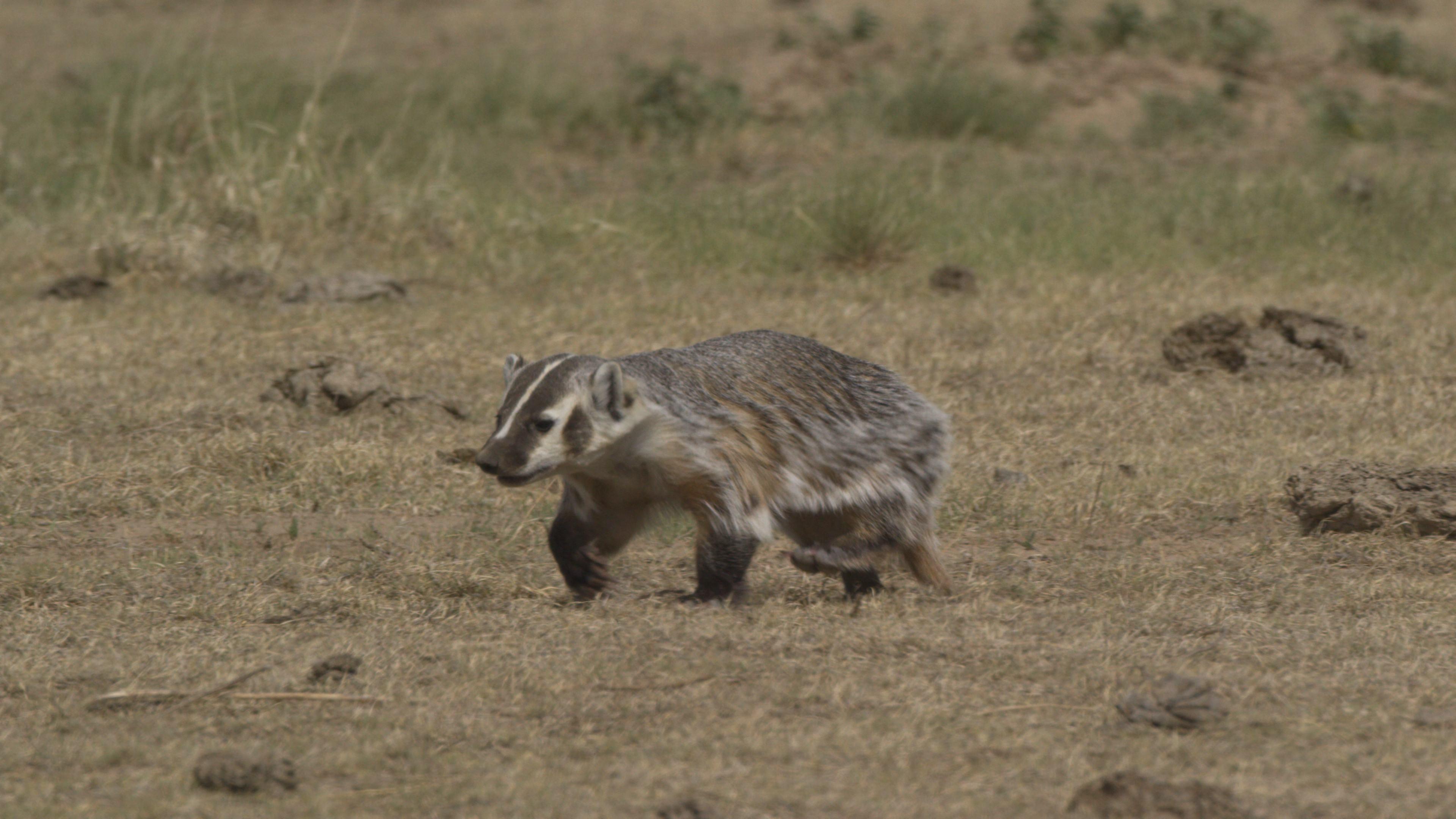 Badger on SPLT Preserve