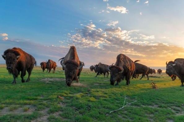 Bison Herd, (c) Sean Bogg for EDF