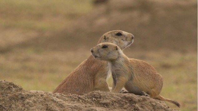 Black-tailed prairie dogs on SPLT Preserve (c) SPLT