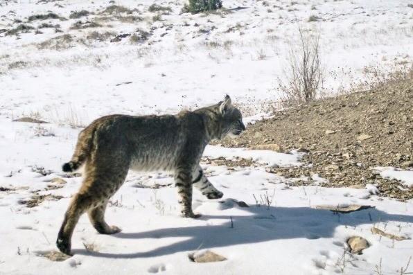 Bobcat on SPLT Preserve