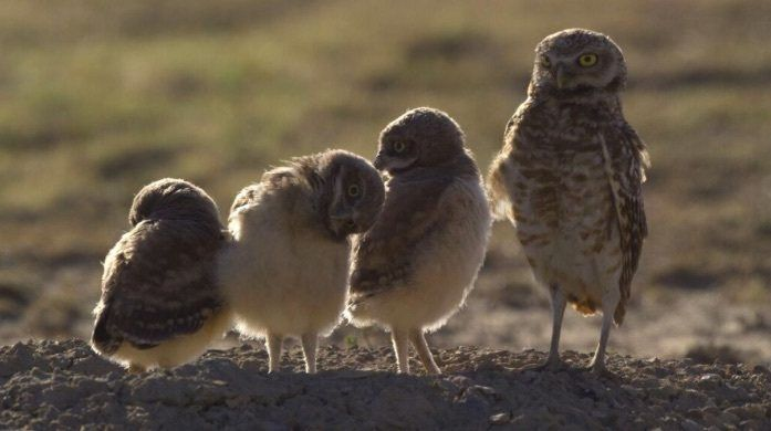 Burrowing owls on SPLT Preserve