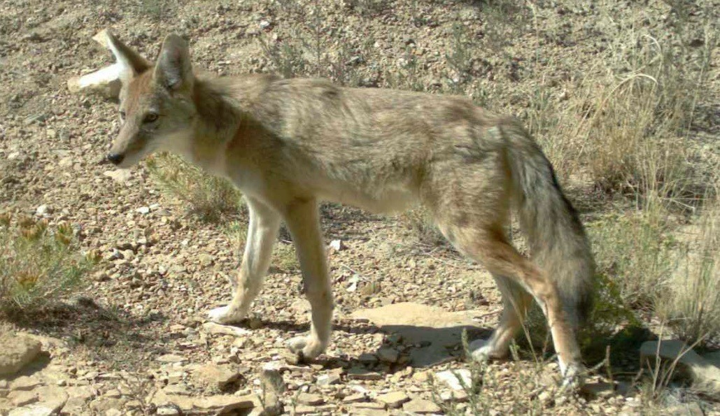 Coyote, SPLT Preserve (c) Richard P Reading