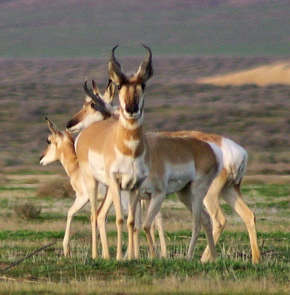 Pronghorn antelope, Wikipedia Commons