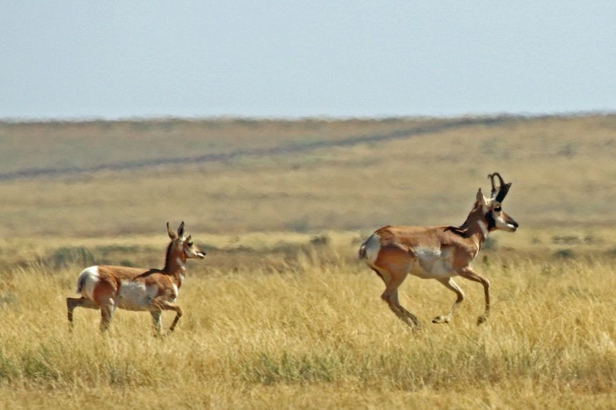 Pronghorn on SPLT Preserve (c) Richard P Reading
