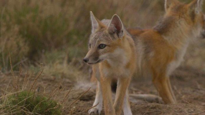 Swift Fox on SPLT Preserve