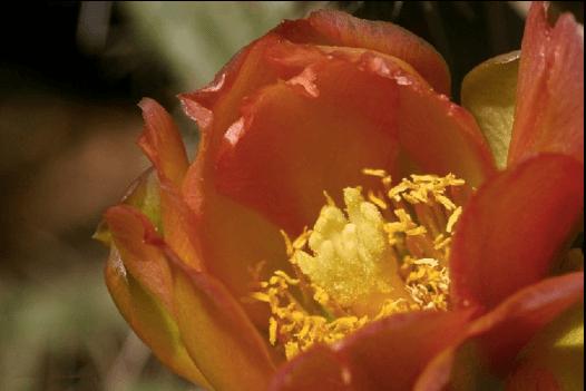 Cylindropuntia viridiflora