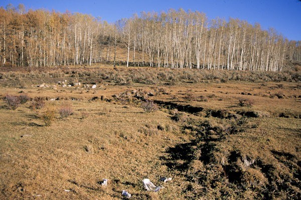 Cow bashed riparian area and wetland, Upper Green River, Valley Bridger Teton NF, Wyoming (c) George Wuerthner