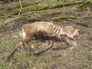 Carcass of deer that had been shot becuse it was too weak to survive the winter © wikipedia Oostvaardersplassen, OP dood hert 2