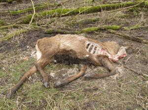 Carcass of deer that had been shot becuse it was too weak to survive the winter © wikipedia Oostvaardersplassen, OP dood hert 2