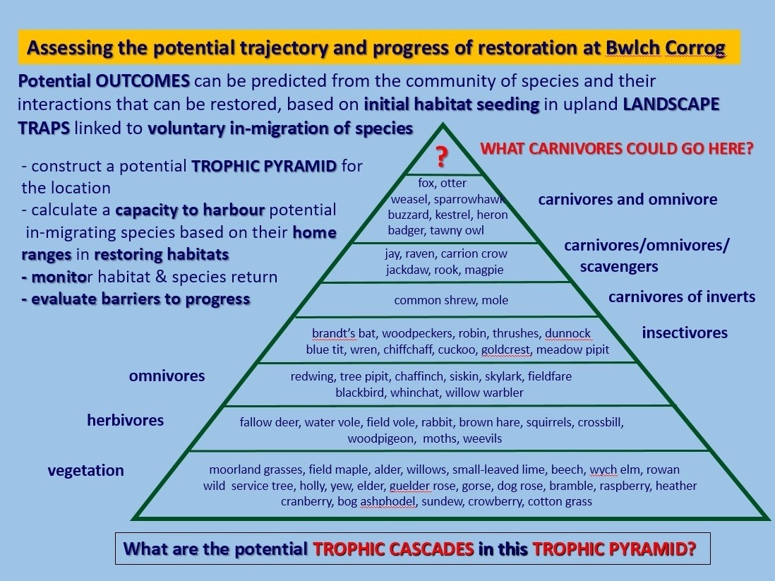 Trophic pyramid for potential rewilding of Blwch Corog, the upland area in Cambrian Mountains in Wiles © Mark Fisher