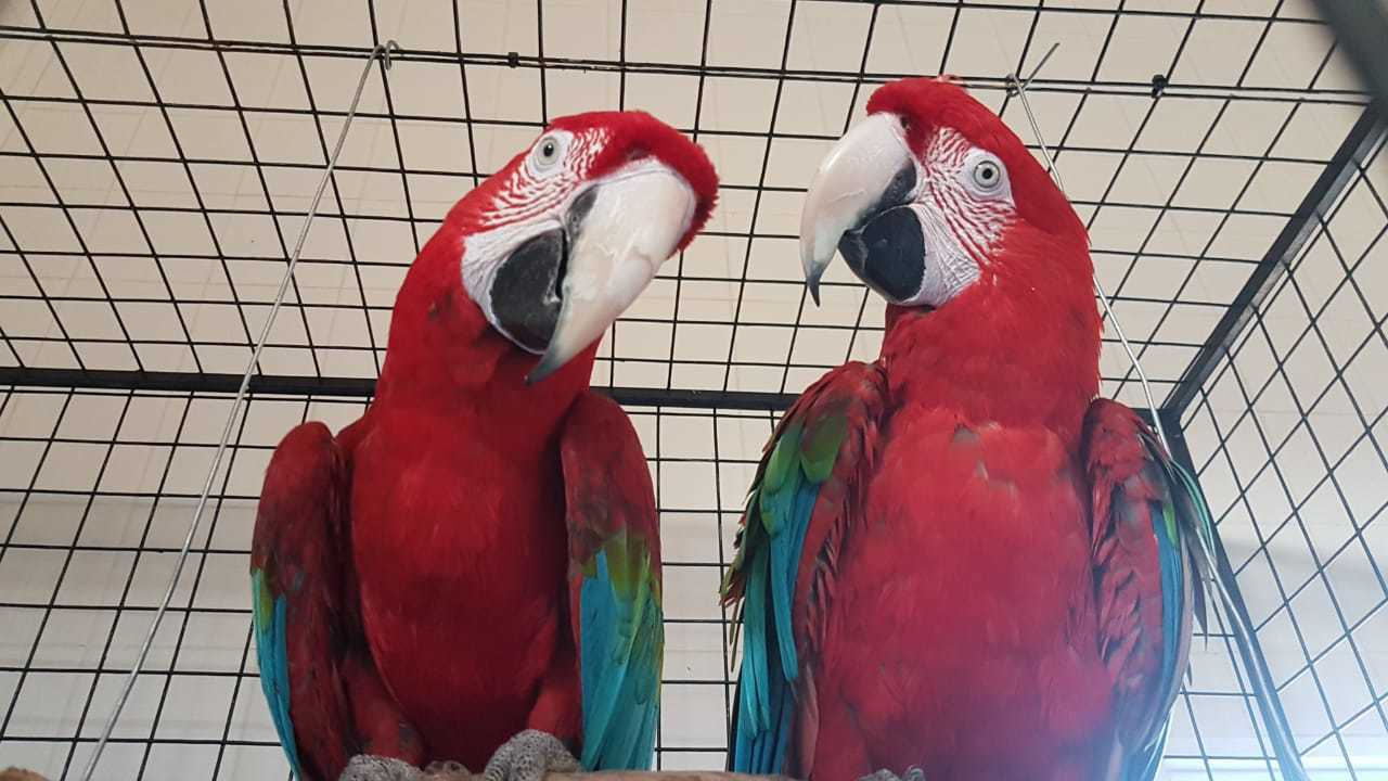 One of the pair of macaws, after a long trip.