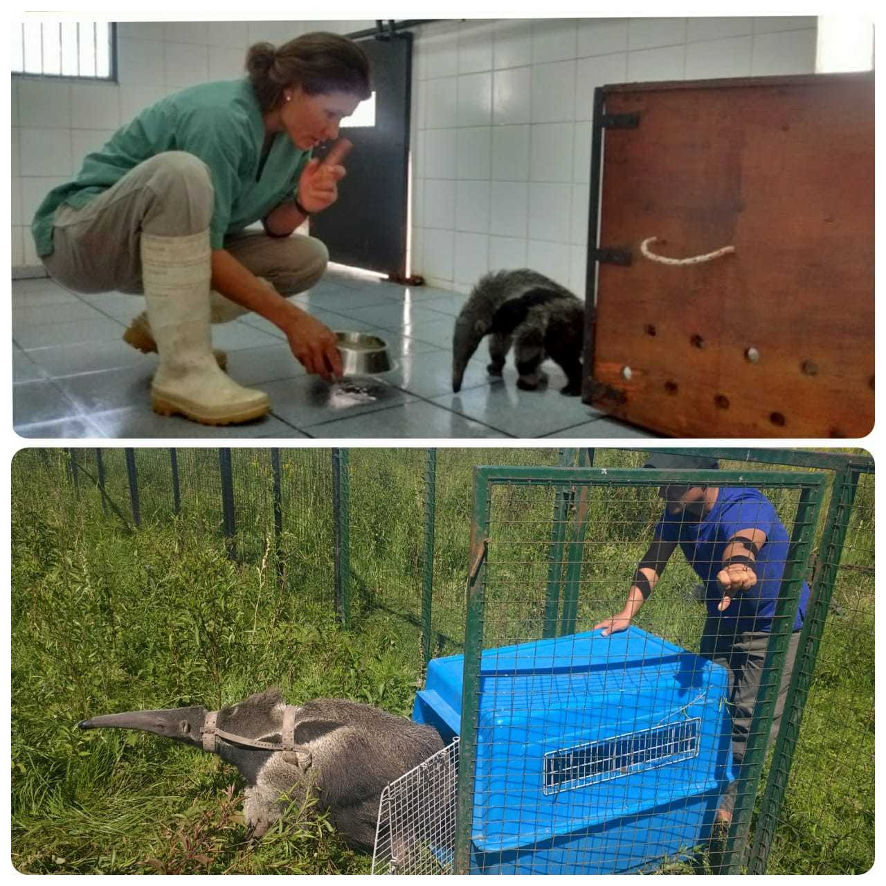 The before (in the quarantine) and after (in the pre-release pen) of Arturo.