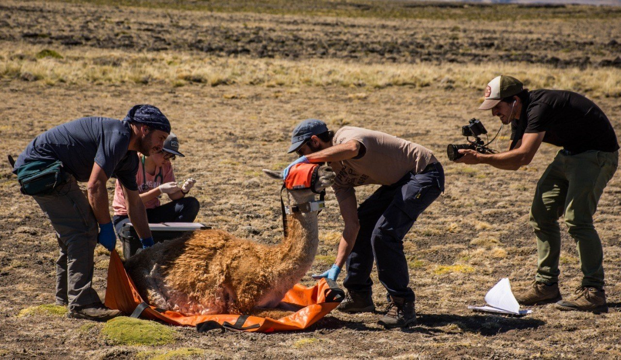 The team capturing and collaring one of the guanacoes.