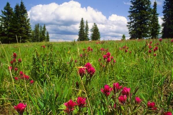 Paintbrush, Windy Pass, Gallatin Range, Montana © George Wuerthner