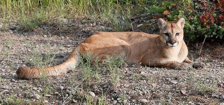 Puma, © MasterImages