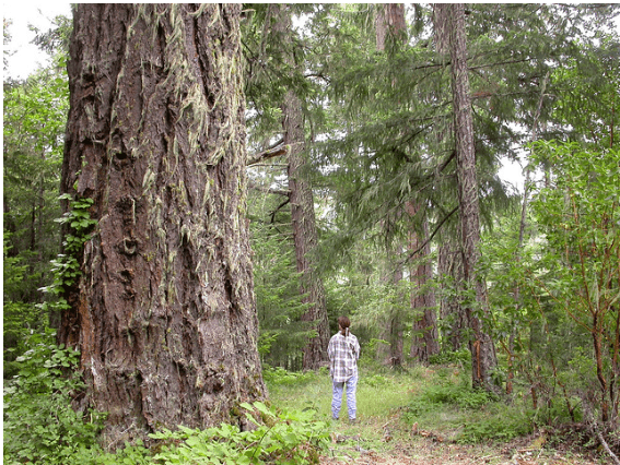 Fig. 1. Federal public forestlands recently transferred to the Cow Creek Ban of Umpqua Indians were being managed to protect old-growth forest. Other pictures of formerly public now tribal land that will in all likelihood soon be clearcut can be found hereand here. Source: Francis Eatherington