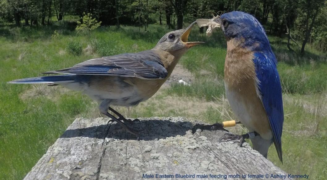 Male Eastern Bluebird male feeding moth to female © Ashley Kennedy