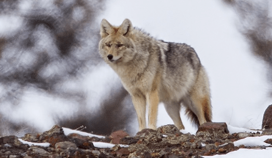 Wolf, canis lupus © MasterImages
