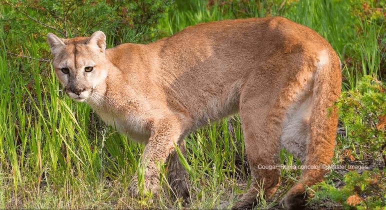Cougar, Puma concolor © MasterImages