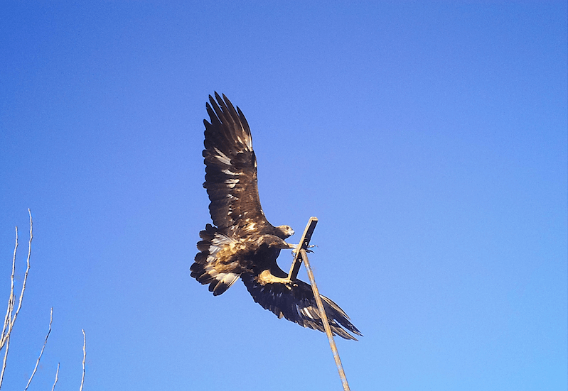 Golden Eagle © Sara Kross