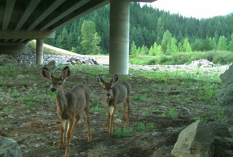 Deer under Hyak Underpass, I-90, Washington © Conservation Northwest copy
