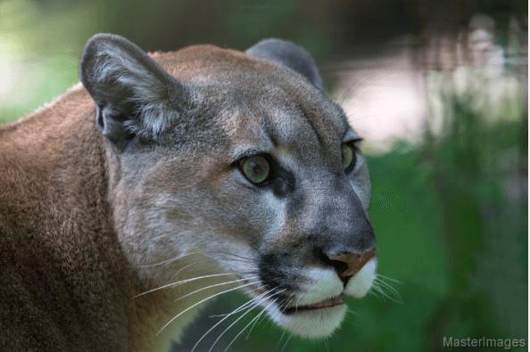 Cougar © MasterImages