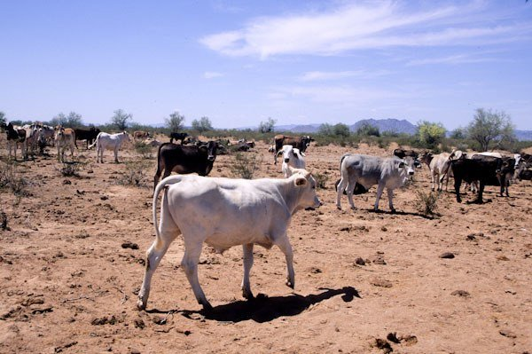 Cows and cow trashed lands Sonoran Desert NM Arizona, © George Wuerthner