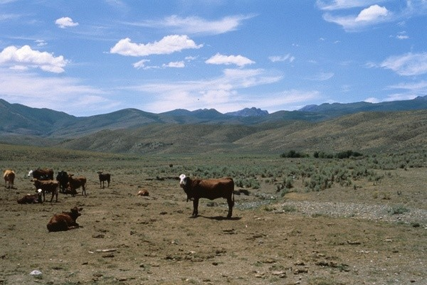 Cows trash riparian area on BLM lands below Rudy Mountains, Nevada, © George Wuerthner