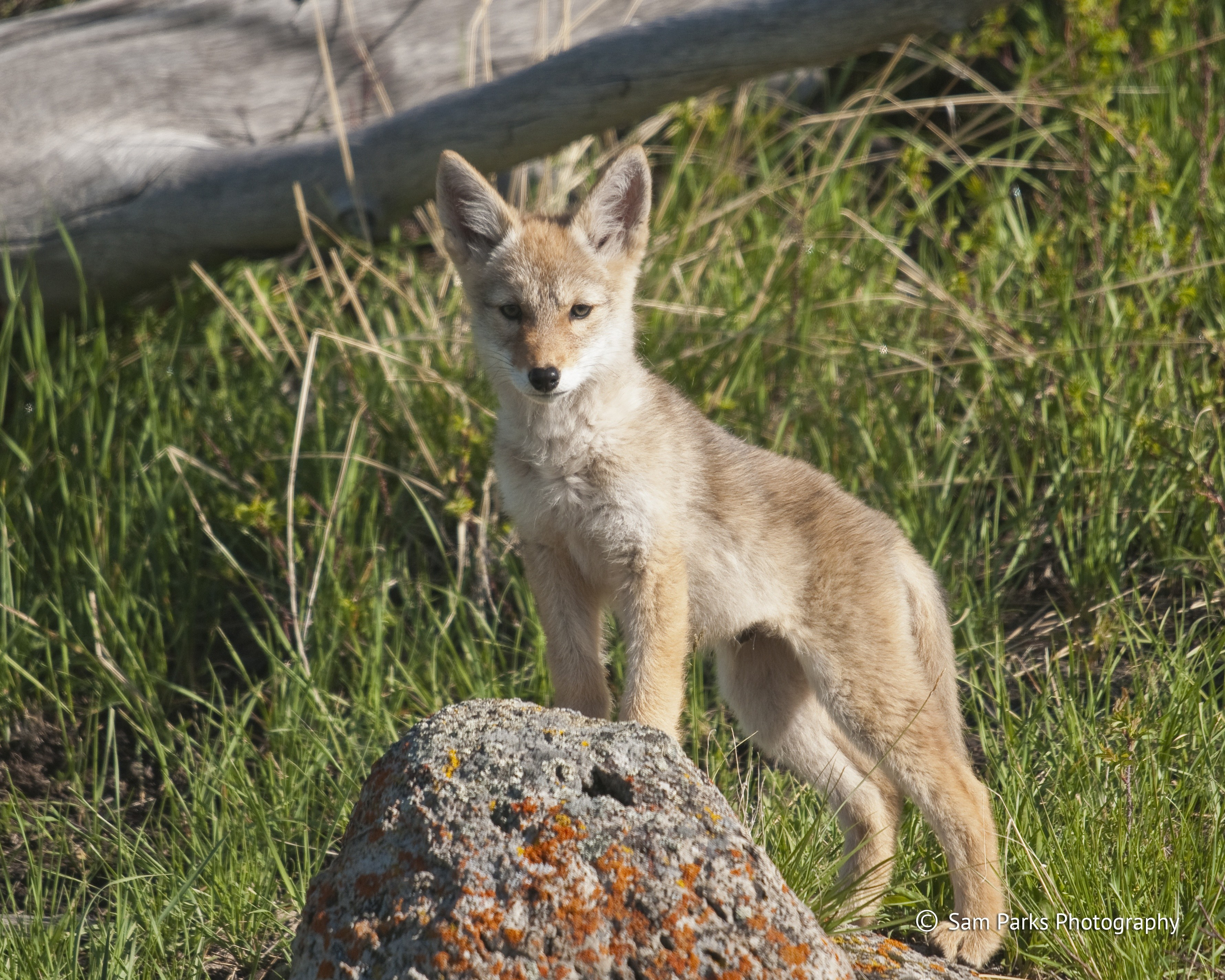 © Sam Parks, Coyote pups are generally born in April and pupping season (April-August) is a time when coyote parents will be more protective of their young and more territorial around their den site.