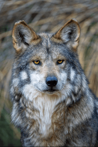 Mexican Wolf © Robin Silver