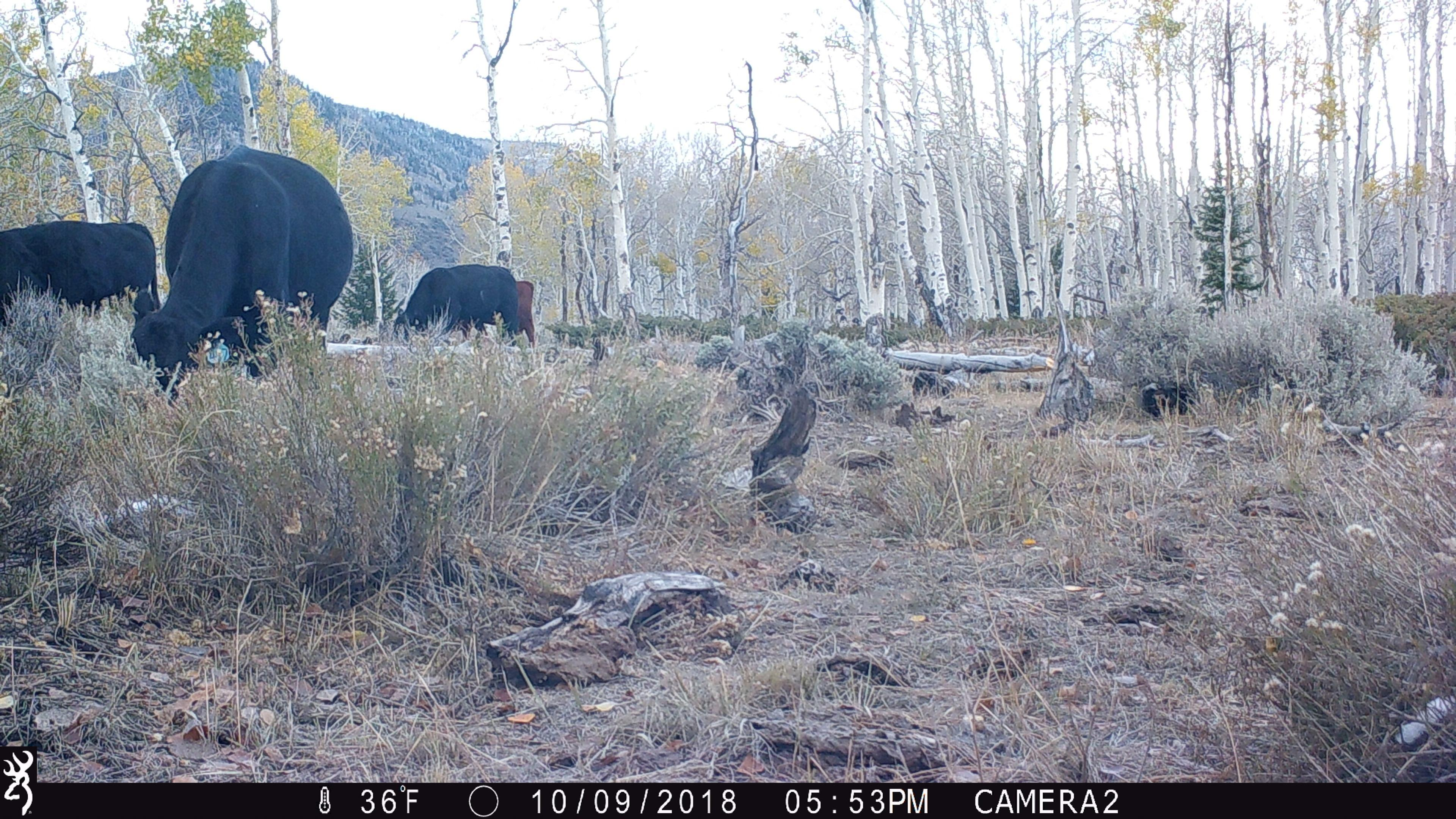Figure 10.Camera 2 on October 9, 2018, at 36°F. The bovines are only there a few weeks.Source:Western Watersheds Project.
