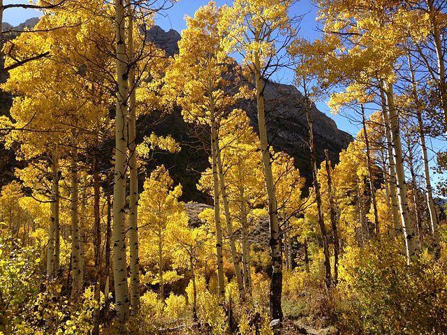 Figure 1.Quaking aspens in Lamoille Canyon, Nevada.Source:Wikipedia.