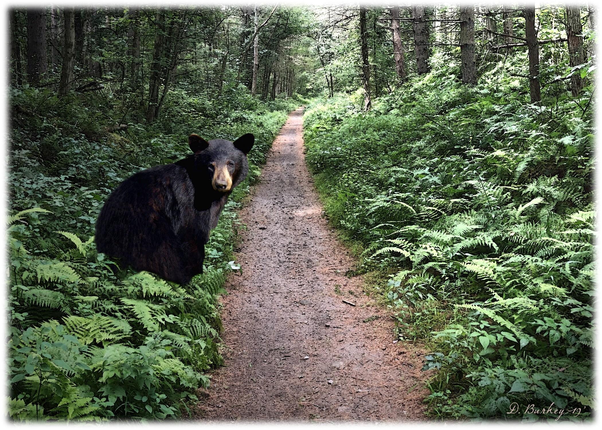 Black Bear, Herkimer County, Southern Adirondacks © Darren Burkey
