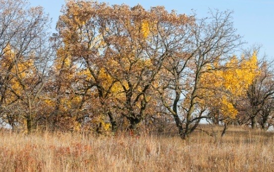 Burr-oak Thickets on Sand Hills, Western Minnesota, © NFA