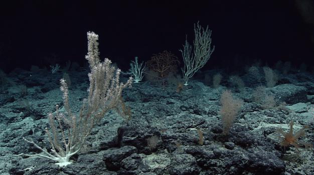 Deep sea corals, Wagner Seamount, Wikimedia Commons