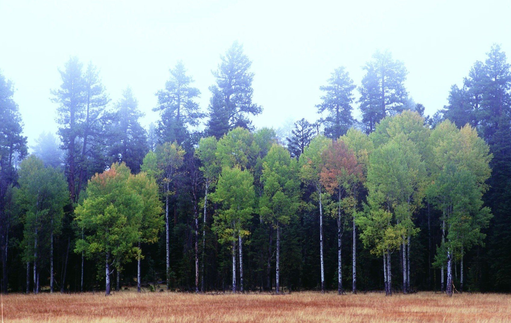 Figure 2.Quaking aspen (Populus tremuloides) (foreground) and ponderosa pine (Pinus ponderosa) (background) on the Ochoco National Forest in Oregon. While aesthetically pleasing, the image is disturbing if you note the utter lack of any aspen replacement stems Source: Sandy Lonsdale. First appeared inOregon Wild: Endangered Forest Wilderness(Timber Press, 2004).