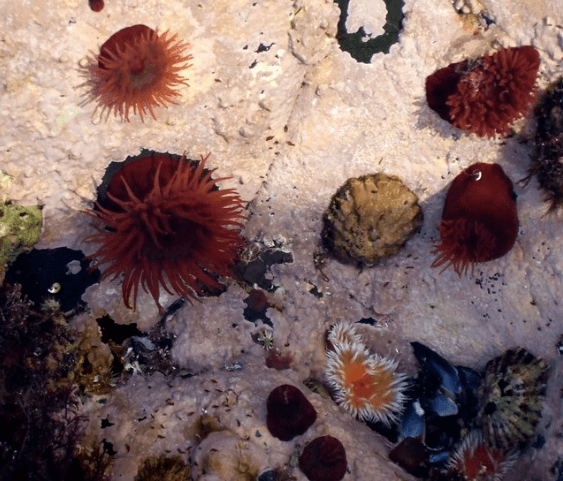 Sea anemones Anemones with their tentacles extended. As well as the common red variety there were also these striking orange and white ones which I'd not seen before. These were in rockpools next to the jetty on Staffa, Wikimedia Commons