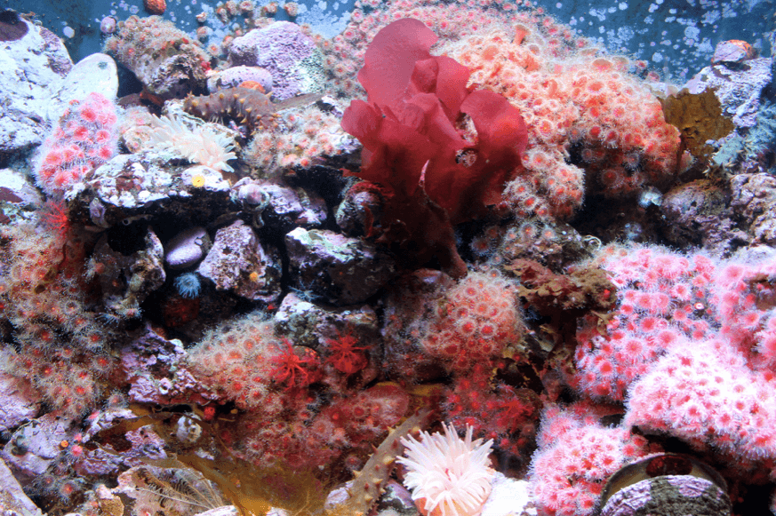 Coral Reef Sea anemones and other aquatic life, PublicDomainImages.net