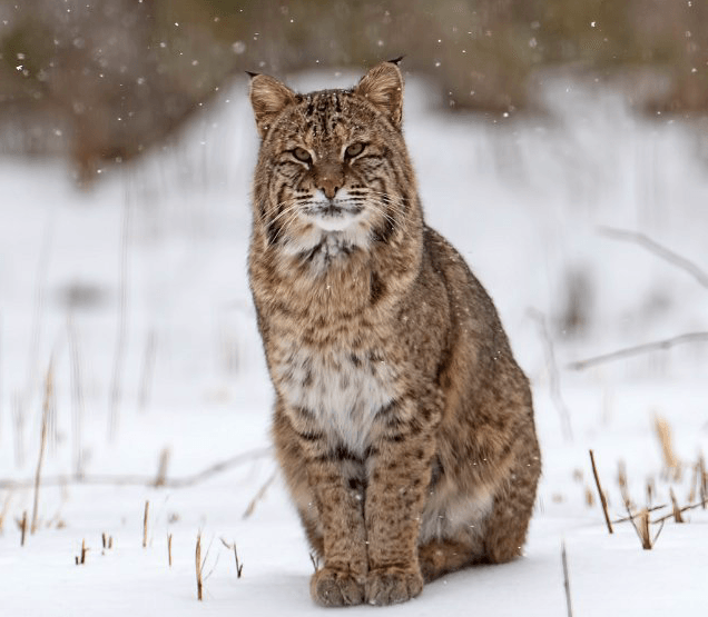 Bobcat © MasterImages