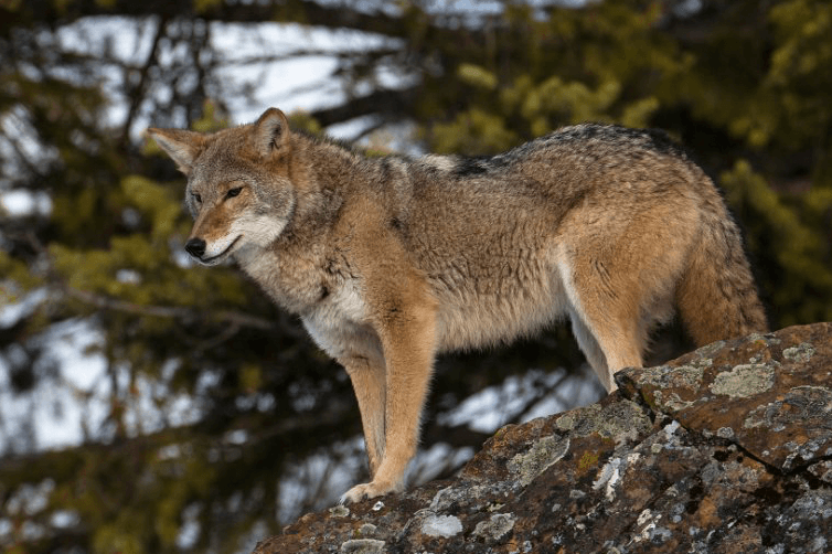 Coyote © MasterImages