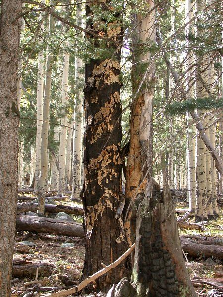 Figure 4. The sooty bark canker, which hastens the demise of older quaking aspen stems. Source: USDA Forest Service.