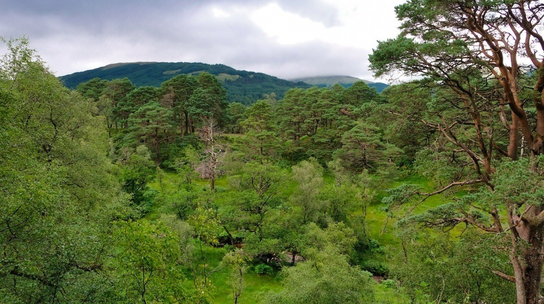 Remnant Caledonian pine forest with non-native conifer plantation in background © Kenyon Fields