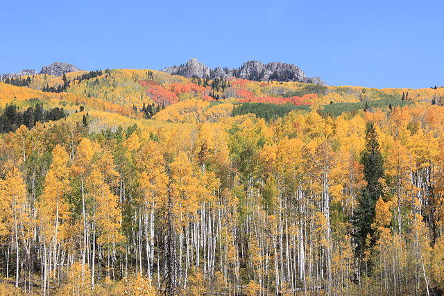 Figure 12. Quaking aspens at Kebler Pass, Colorado. Source: USDA Forest Service.