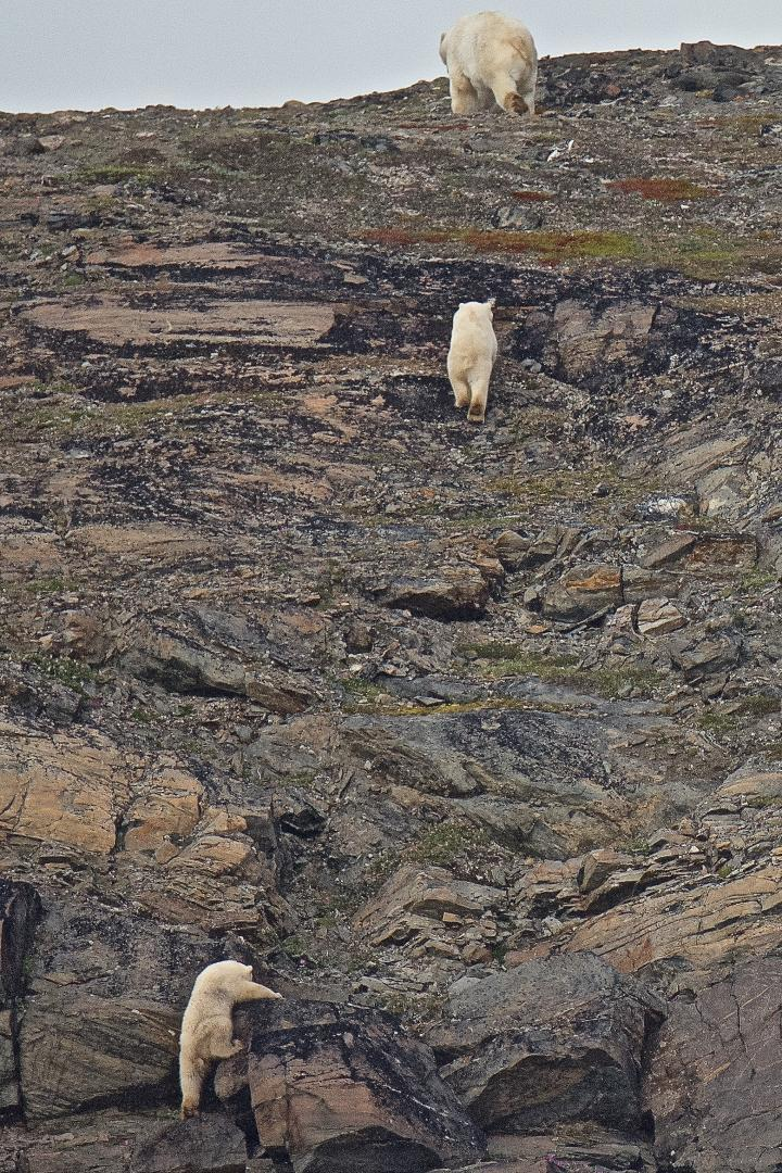 """""""Mom! Wait for me!"""" Polar Bear mom and two cubs © Dave Foreman"""