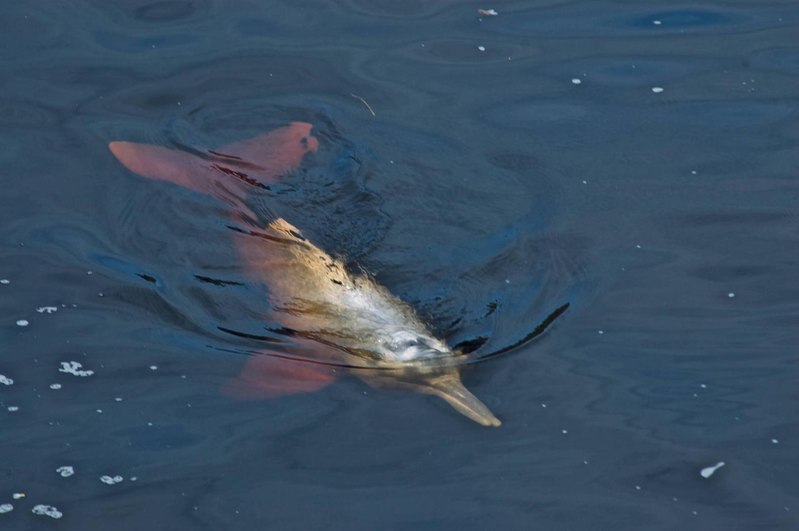 Pink River Dolphin, Rio Negro, Brazil © Dave Foreman