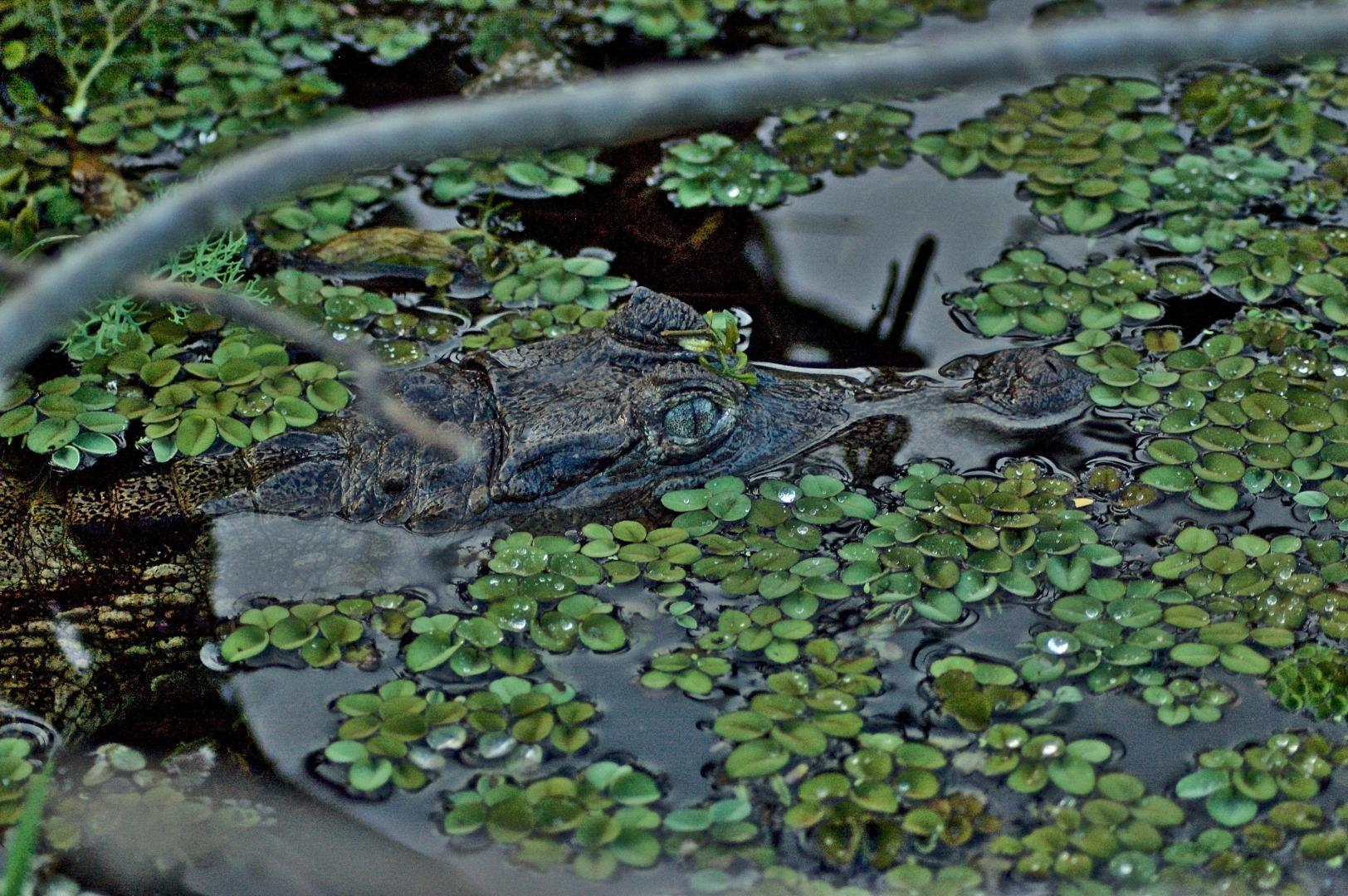 Black caiman in the Heart of the Amazon © Dave Foreman